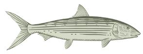 Bonefish Drawing